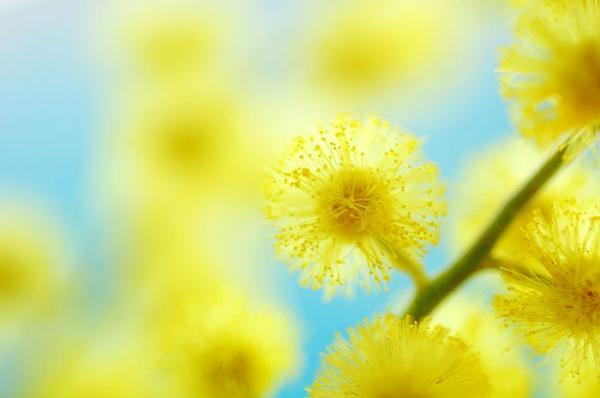 цветок мимоза фото: